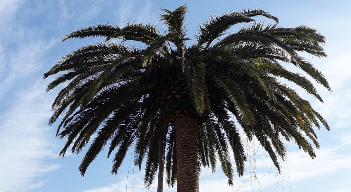Internaco ofrece formación a sus distribuidores sobre sistemas de control del picudo rojo, la plaga que está asolando las palmeras de toda España